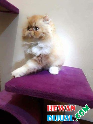 Persian Kitten red tabby peaknose  #1