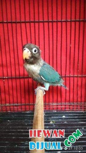 Unduh 880+ Foto Gambar Burung Lovebird Cobal  Terbaru Gratis