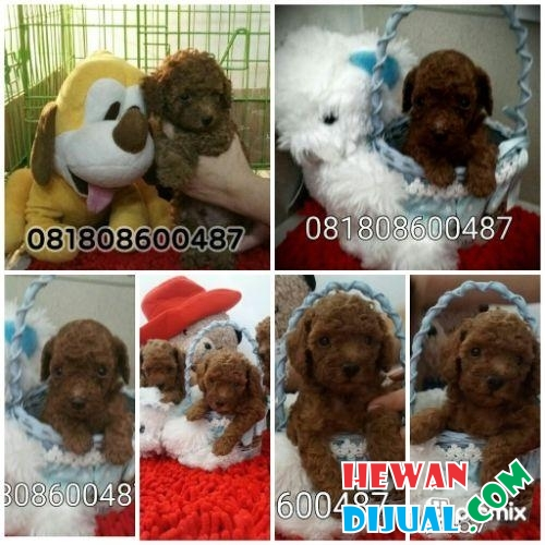 Super Red Puppy Toy Poodle Murah Berkualitas Bloodline import Taiwan #1