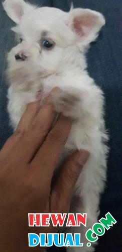 Anakan mini maltese super white import #1