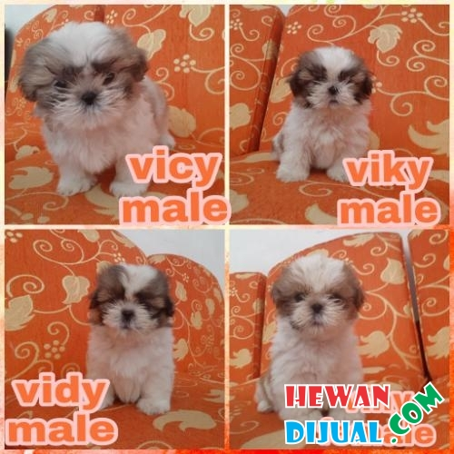 4 Puppies Shihtzu Super Cutee Stambum + Vaksin #1
