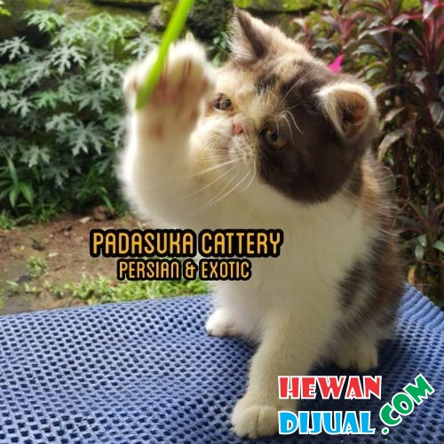 Indukan Persian Exotic Proven Pedigree #1