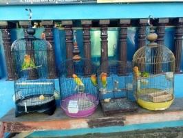 Dijual Burung Love Bird Di Magelang Hewandijual Com