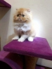 Persian Kitten red tabby peaknose  #2