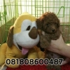 Super Red Puppy Toy Poodle Murah Berkualitas Bloodline import Taiwan #5