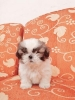 4 Puppies Shihtzu Super Cutee Stambum + Vaksin #3