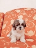 4 Puppies Shihtzu Super Cutee Stambum + Vaksin #5