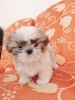4 Puppies Shihtzu Super Cutee Stambum + Vaksin #2
