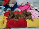 Super Red Puppy Toy Poodle Murah Berkualitas Bloodline import Taiwan #2