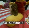 Super Red Puppy Toy Poodle Murah Berkualitas Bloodline import Taiwan #3