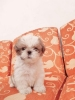 4 Puppies Shihtzu Super Cutee Stambum + Vaksin #4