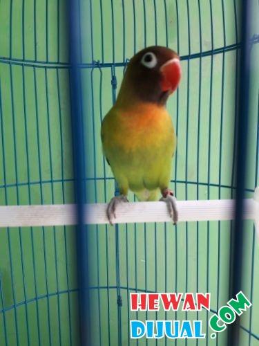 66+ Foto Gambar Burung Lovebird Lucu  Terbaru Free