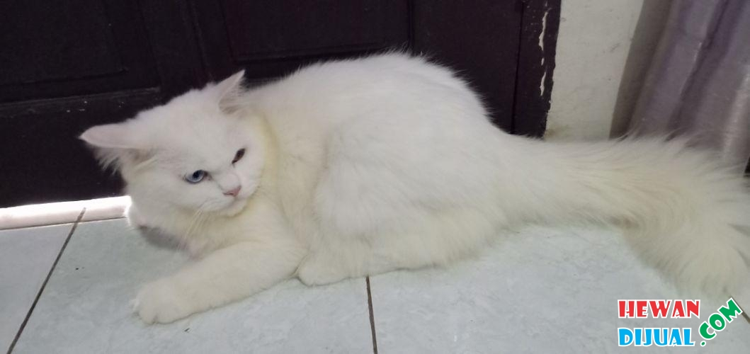 Download 61+  Gambar Kucing Persia Medium Paling Lucu