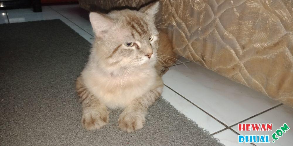Download 96+  Gambar Kucing Anggora Gemuk Terlihat Keren Gratis