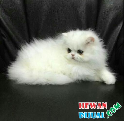 Kitten Peaknose White Solid Blue Eyes  #1