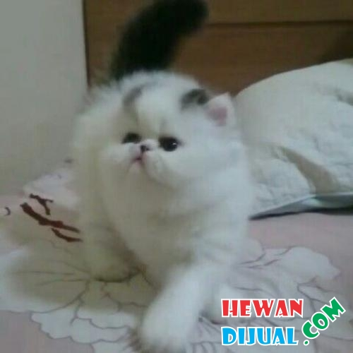 Kucing peaknose exotic shorthair  #1