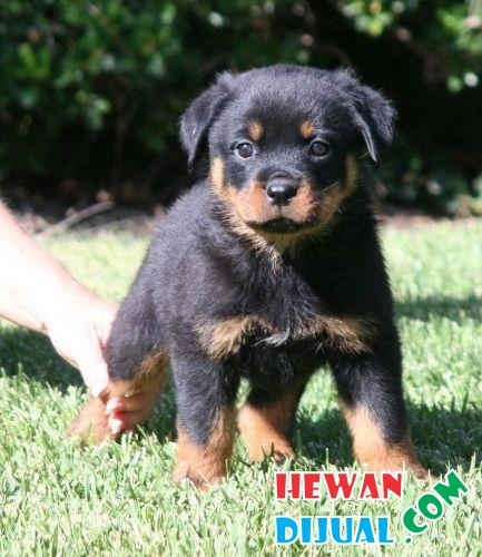 for sale Rottweiler Puppies stb #1