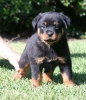 for sale Rottweiler Puppies stb #2