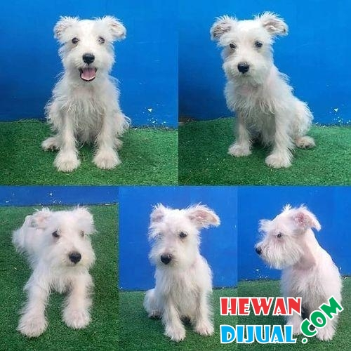 1 White Miniature Schnauzer Puppy #1