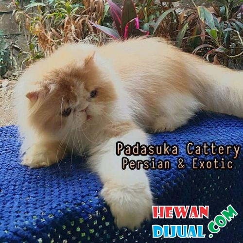 READY PERSIAN LONGHAIR DEWASA NON PEDIGREE #1