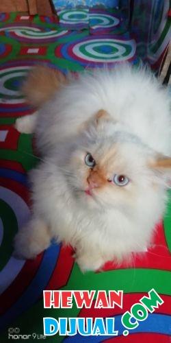 Unduh 61+  Gambar Kucing Anggora 4 Bulan Terlihat Keren Gratis