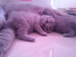 Kitten British Shorthair Pedigree Cfa