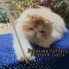 READY PERSIAN LONGHAIR DEWASA NON PEDIGREE #3