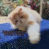 READY PERSIAN LONGHAIR DEWASA NON PEDIGREE #4
