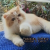 READY PERSIAN LONGHAIR DEWASA NON PEDIGREE #2