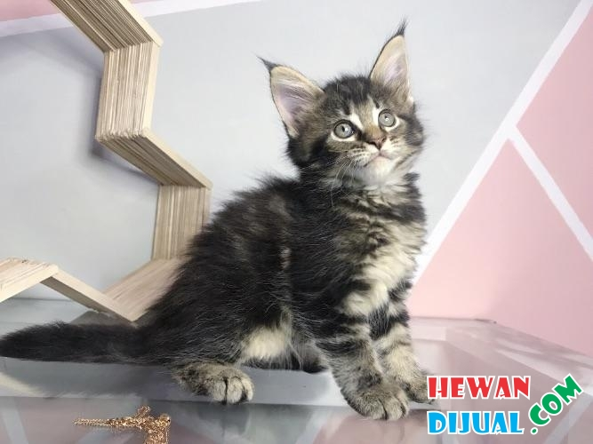 Kitten Maine Coon Pure Nonped #1