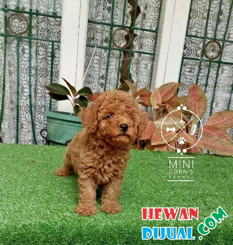 4 Ekor Red Toy Poodle #1