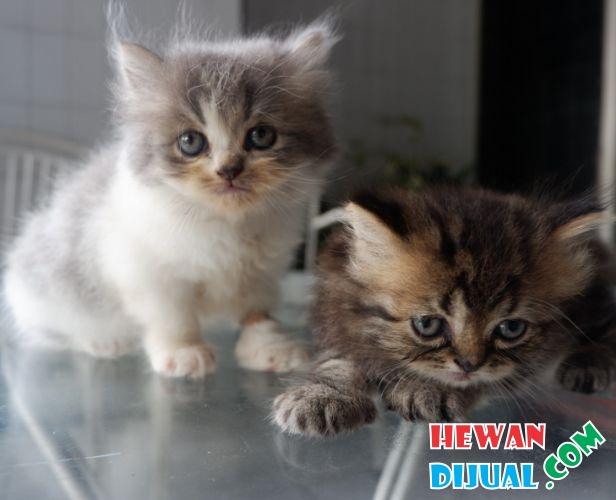 78 Gambar Gambar Kucing Umur 2 Bulan Terlihat Cantik