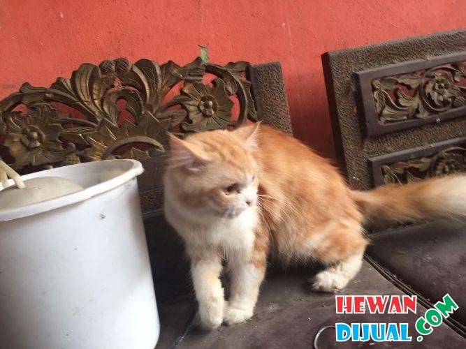 kucing anggora and peaknose  #1