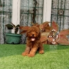 4 Ekor Red Toy Poodle #3