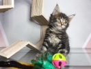 Kitten Maine Coon Pure Nonped #3