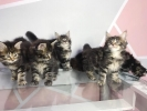 Kitten Maine Coon Pure Nonped #5