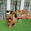 4 Ekor Red Toy Poodle #2