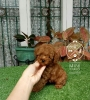 4 Ekor Red Toy Poodle #4
