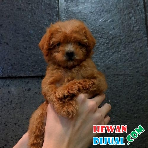 Poodle tiny high quality brown  #1