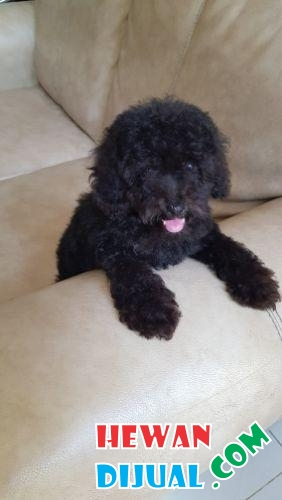 Anjing toy poodle stambum silver #1
