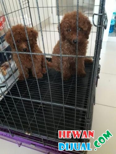 Anjing Red Toy Poodle Stambum Vaksin Bloodline Import #1