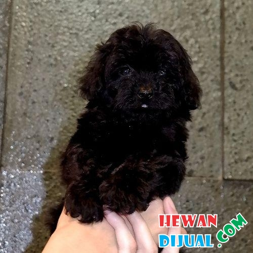 Poodle tiny high quality black  #1