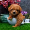 Poodle tiny high quality brown  #2