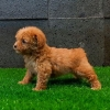 Poodle tiny high quality brown  #4