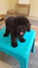 Anjing toy poodle stambum silver #3