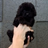 Poodle tiny high quality black  #2