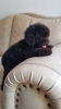 Anjing toy poodle stambum silver #2