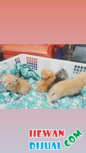 Kitten Persia Medium 200k #1