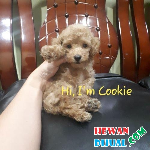 Anjing Brown Red Toy Poodle Jantan Promo Murah  #1