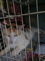 DiJual Kucing Abyssinian Murah & Terpercaya!   HewanDiJual com